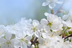 stock photo of cherry blossoms  - white flowers cherry on background blue  sky - JPG