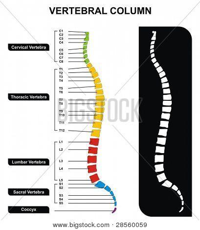 VECTOR Vertebral Column Spine Diagram
