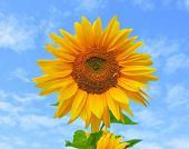 Field Of Blooming Sunflowers.top View, Space For Text.sunflower Field Landscape. Sunflower Field Pan poster