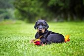 Doberman Puppy In Grass. Puppy Lies On The Green Grass poster