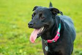 Black Dog Panting With Long Tongue Hanging Out In Grassy Park poster