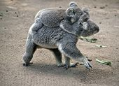 The Koala Has Her Joey On Her Back While Walking On The Ground poster