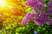 Branch Of Lilac Flowers With The Leaves And Sunshine, Natural Seasonal Spring Background poster