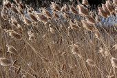 Wintry Image Of Ornamental Grass In Meadow With Cat-o-nine-tails And Freshly Fallen Snow In The Back poster