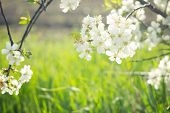 Flowering Spring Tree Close-up.tree Flower, Seasonal Floral Nature Background, Shallow Depth Of Fiel poster
