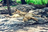 Many Lions Avoid The Sunlight S Are Under Big Trees In Sunlight Time. They Like To Relax On Big Ston poster