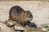 Coypu, Myocastor Coypus, Also Known As River Rat Or Nutria, Is A Large, Herbivorous, Semiaquatic Rod poster