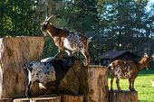 Domestic Goat, Capra Aegagrus Hircus. Goats Are One Of The Oldest Domesticated Species Of Animal, An poster