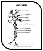 image of neuron  - VECTOR  - JPG