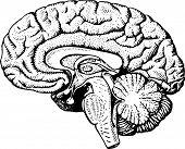 stock photo of cerebrum  - Human brain close - JPG