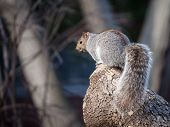Eastern Gray Squirrel, Or Sciurus Carolinensis Standing In An Forest Area Of Montreal, Quebec, Canad poster