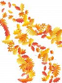 Oak, Maple, Wild Ash Rowan Leaves Vector, Autumn Foliage On White Background. Red Orange Yellow Wild poster