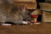 Close-up The Rat (rattus Norvegicus) Chewing Paper Near Pile Of Old Books On The Flooring In The Lib poster