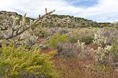 pic of anza  - Desert wildflowers and cactus in bloom in Anza Borrego Desert State Park - JPG