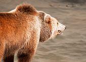 Brown Bear (ursus Arctos Arctos) Catches Fish. Teal And Orange Photo Filter. poster