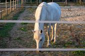 White Horse In The Enclosure When Grazing. Location: Germany, North Rhine - Westphalia, Borken poster