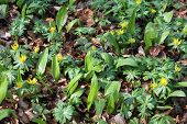 Ramsons And Winter Aconite In A Beech Forest poster