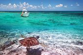 stock photo of yucatan  - Green turtle in Caribbean Sea scenery of Mexico - JPG
