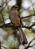 pic of mockingbird  - The State Bird of Texas a mockingbird poses on a branch.