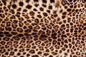 foto of furry animal  - Real leopard skin to make for a cool background for you - JPG