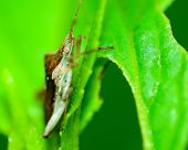 stock photo of shield-bug  - side view of a stink bug or shield bug.