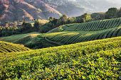 stock photo of cameron highland  - Tea plantation in morning sunlight - JPG