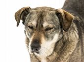 picture of stray dog  - Homeless Dog Portrait Isolated On White Background - JPG