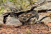 picture of timber rattlesnake  - A Timber Rattlesnake at a den in the Appalachian mountains - JPG