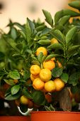 stock photo of tangerine-tree  - decorative tangerine trees in pots for sale - JPG