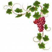 picture of grape-vine  - Red ripe grapes on a white background - JPG