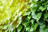 picture of ivy vine  - Green ivy - JPG
