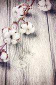 picture of boll  - Branch of ripe cotton bolls on old wood background - JPG