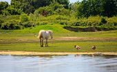picture of great horse  - View of wild Camargue Horse Soca River Mouth  - JPG
