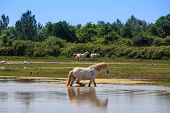 stock photo of great horse  - Herd of wild Camargue horses Soca River Mouth - Italy