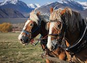 stock photo of harness  - Belgian draft horse team fully harnessed with mountains - JPG