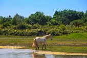 foto of great horse  - View of wild Camargue Horse Soca River Mouth  - JPG