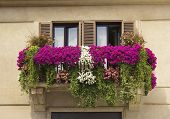 stock photo of petunia  - balcony twined with flowers of petunias on facade of the house on the Piazza Navona - JPG