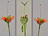 stock photo of dagga  - Close up of Leonotis leonurus Wild Dagga Plant - JPG
