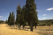 picture of centenarian  - trees of the XIII century in the county dels Ports in Castell - JPG