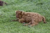 stock photo of hirsutes  - Small scottish highland cow calf resting on grass - JPG