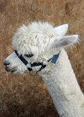picture of alpaca  - Head and neck shot of white alpaca wearing bridle - JPG