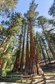 foto of sequoia-trees  - The Bachelor and Three Graces Sequoia Trees Mariposa Grove Yosemite National Park California.