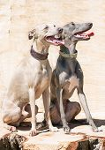 foto of greyhounds  - Two elegant greyhounds sitting on the stump - JPG