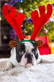 stock photo of rudolph  - French bulldog with reindeer horns under Christmas tree - JPG