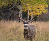 pic of mule  - A large mule deer buck standing in a meadow with aspen trees in the background in Rocky Mountain National Park near Estes Park Colorado