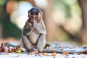 pic of macaque  - Little Monkey  - JPG