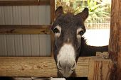 stock photo of zoo  - young donkey in a stable at a petting zoo - JPG