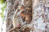 stock photo of macaque  - Monkey  - JPG