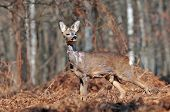picture of roebuck  - Photo of wild roe deer in forest clearing - JPG