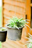 pic of climber plant  - song of India plant in the flower pot - JPG